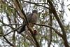 Brown Goshawk with prey_2419E by Neil H Mansfield