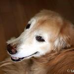 なーに? 遊ぶ? それとも、おやつ? #犬 #ゴールデンレトリーバー  #レトリバー #ゴールデン #犬バカ部 #癒しワンコ #ふわもこ部 #ゴールデンレトリバー  #retriever #goldenretriever #dog #retrievers #goldenretrievers #dogs . 北海道の風景は@hscape を見てね♪