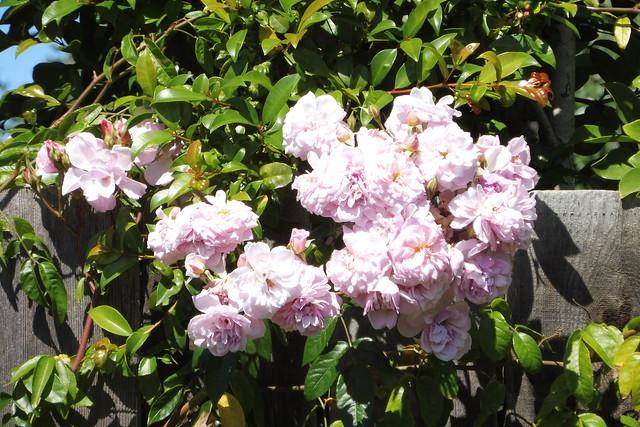 P1030694 renae roses