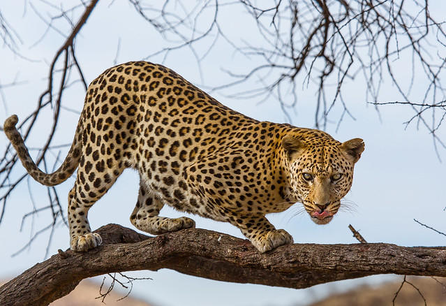 Hungry Leopard - Namibia