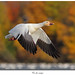 Oie des neiges / Snow Goose IMG_0758 by salmo52