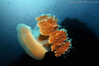 A large Mosaic Jellyfish glides silently through the water at Sail Rock, Koh Phangan, Thailand