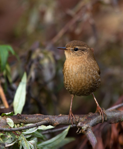 BI20141023-0060-Winter Wren | by lgooch