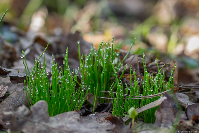 Grass in drops of dew
