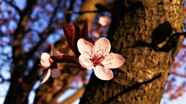 Pink cherry blossom enjoying the golden light ❤️