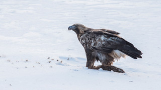 Golden Eagle | by Tris Enticknap