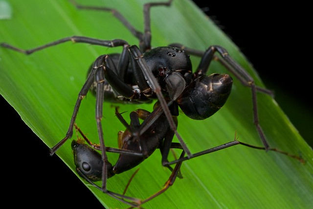Zodariid spider with ant prey