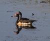 Magpie Geese (Anseranas semipalmata).01 by Geoff Whalan