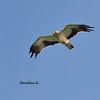 อินทรีเล็ก Booted Eagle by somchai@2008