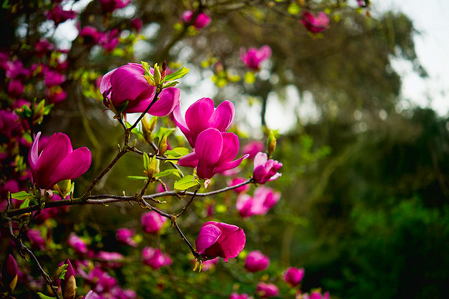 Descanso Fuschia Flowers