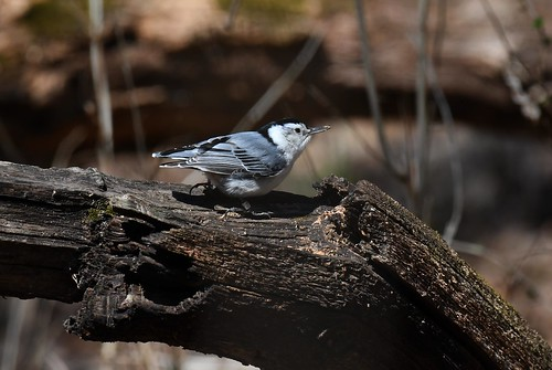 White-breasted Nuthatch-banded