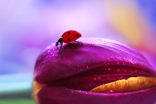 Tulipa 💜🐞