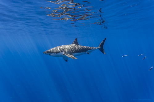 Male great white shark left side | by George Probst