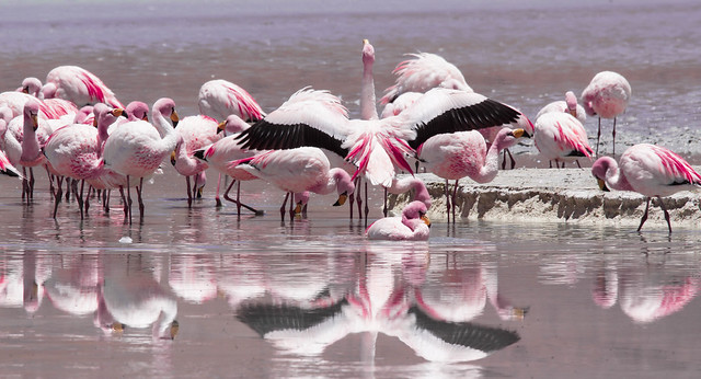James's FlamingoS/ flamands roses de James/flamingos James  (Phoenicopterus jamesi) DSC06315