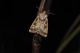 Fishers Esturine Moth | by markhows