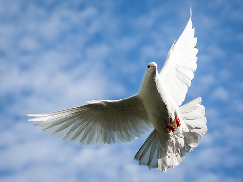 Dove in flight. | by vjpaul