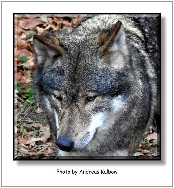 Andreas Kalbow Wolf Canis lupus Olderdissen (4)