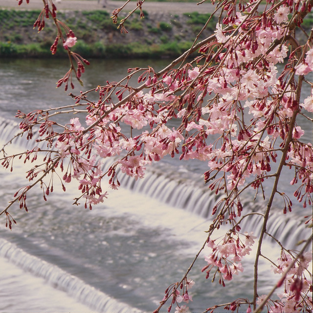 Cry me a river - weeping cherry by the Kamo River
