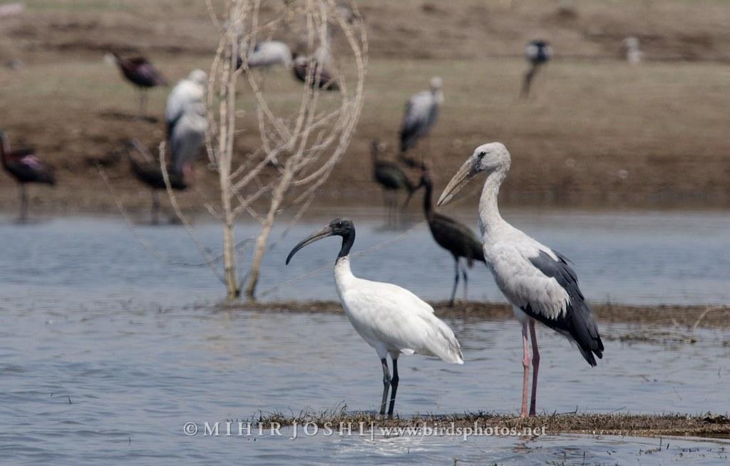 Black-headed ibis [Ibis Oriental] & Asian Openbill [Picotenaza Asiático]