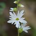 Lithophragma heterophyllum - Photo (c) Don Loarie, alguns direitos reservados (CC BY)