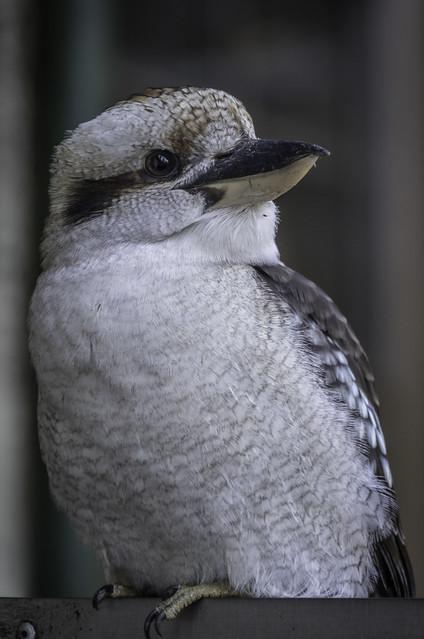 44/100: Kookaburra