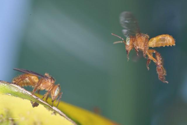 Apidae>> Apinae>> Meliponini>> Trigona
