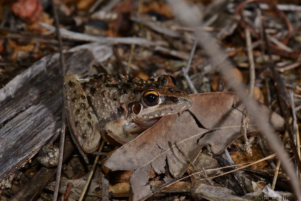 Freycinet's Frog (Litoria freycineti)
