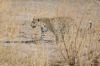 Leopard | by brainstorm1984