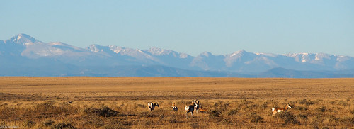 Pronghorn Antelope | by CL.Baker