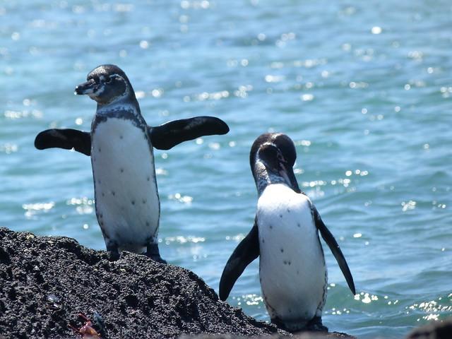 Pingüinos en islas Galápagos