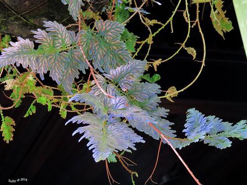 Helecho tornasol - Selaginella wildenowii