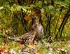Ruffed Grouse 52 (Bonasa umbellus) by egdc211