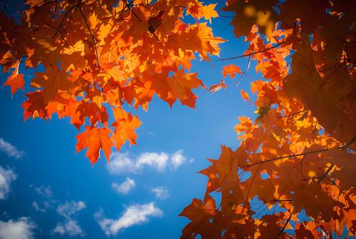 blue autumn sky orange ny newyork fall leaves maple october unitedstates millbrook hudsonvalley 2014 innisfreegardens