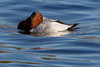 Canvasback! by soobee620