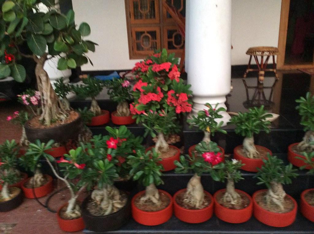 From my garden, Adenium Bonsai five years training -