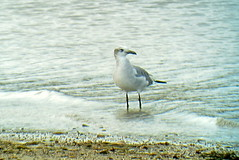 Laughing Gull, Yellow Creek State Park, 10/14/2014