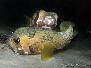 A pair of Black-Blotched Porcupinefish beneath Chaloklum pier, Koh Phangan, Thailand