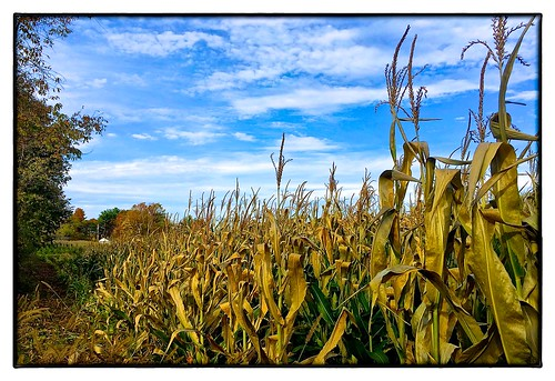 field corn large 1014 eastbridgewaterma iphone36530 iphone5sbackcamera415mmf22