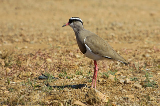 Crowned Plover, Vanellus coronatus,Parys, Free State, South Africa | by Rick e Elis Simpson