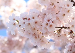 Pink Cherry Blossoms | by Princess Ruto
