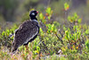 West Coast NP, Capetown: Southern Black Korhaan by donna lynn