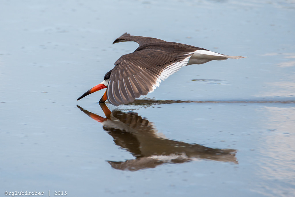 Birds of Shark River - Black Skimmer - 8   Black Skimmer The