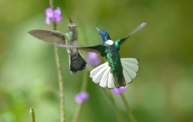 WHITE-NECKED JACOBIN MALE & FEMALE