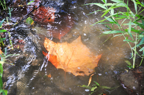 Underwater Maple Leaf | by districtinroads