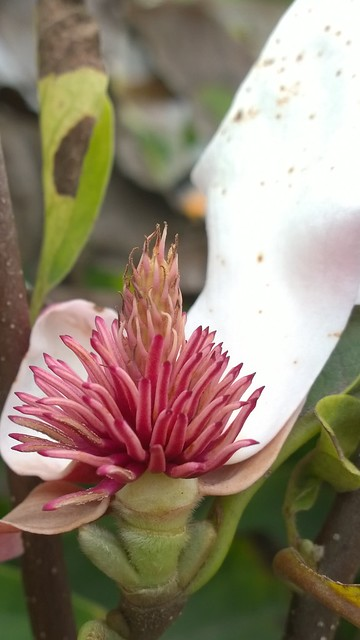 Confused local magnolia tree blooming in October