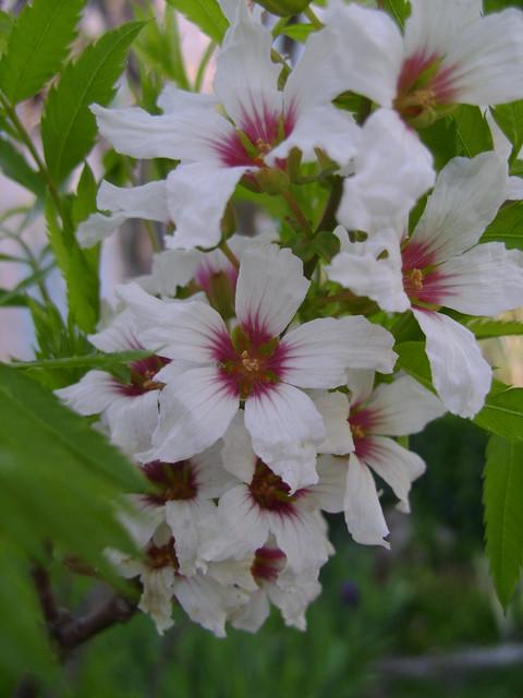 Xanthoceras sorbifolium 33211090081_e2a16f53f1_z