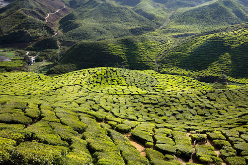 beautyinnature camelliasinensis cameronhighlands colorimage greencolor highangleview lushfoliage luxuriant mountainrange nopeople photography rollinglandscape ruralscene teacrop tranquilscene tranquility agriculture crop day growth horizontal idyllic malaysia mountain nature outdoors panoramic plantation scenics town travel tanahrata pahang my