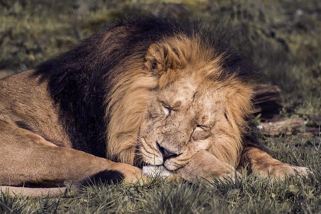 Lion(110418)