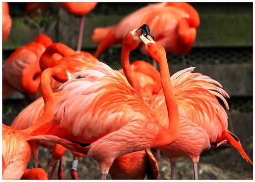 fiery flamingos bright colourful fighting bird angry vibrant