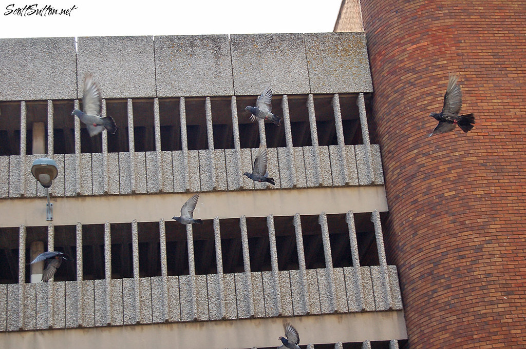 Pigeons in Cardiff